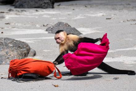 Capuchin Monkeys in Costa Rica Play Tourists for Food: asset-mezzanine-16x9