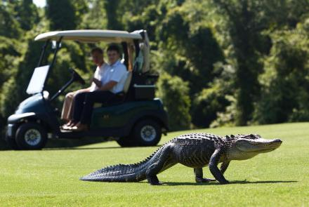 Alligators Find New Territories on Golf Courses: asset-mezzanine-16x9