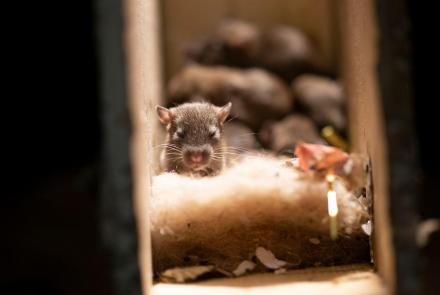 Rats Use Their Skills to Become the Ultimate Urban Animal: asset-mezzanine-16x9