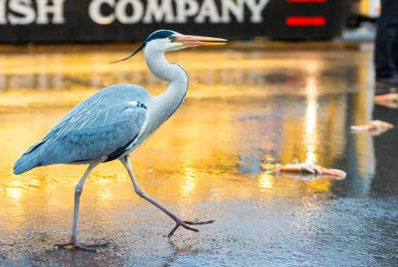 Amsterdam's Herons Find Surprising Ways to Live in the City: asset-mezzanine-16x9