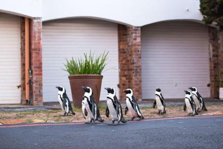 A Waddle of Penguins Head Into Cape Town: asset-mezzanine-16x9