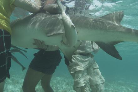 Lemon Shark Birth in Bimini, Bahamas: asset-mezzanine-16x9