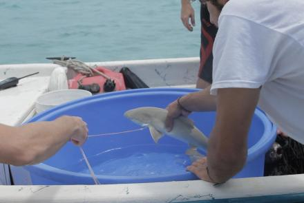 Student Scientists Tag a Baby Lemon Shark: asset-mezzanine-16x9