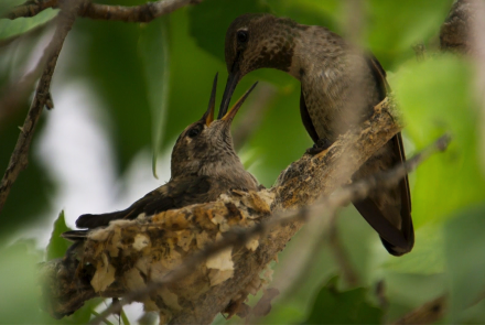 Anna's Hummingbird Filmed Nesting for First Time in Big Bend: asset-mezzanine-16x9