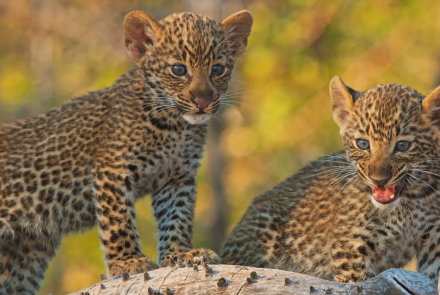 Mother Leopard Protects Cubs from Male Intruder: asset-mezzanine-16x9